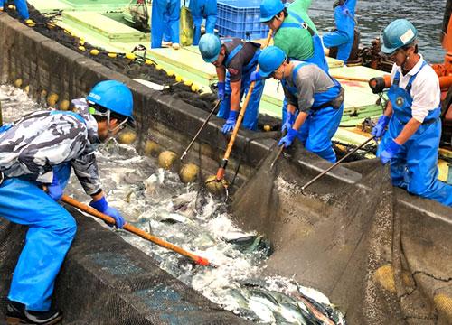 舞鶴の魚介類 水揚げ